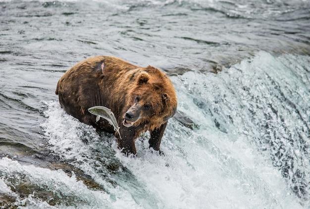 ヒグマは川で鮭を捕まえる