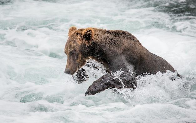 ヒグマが川の水の中を走っています