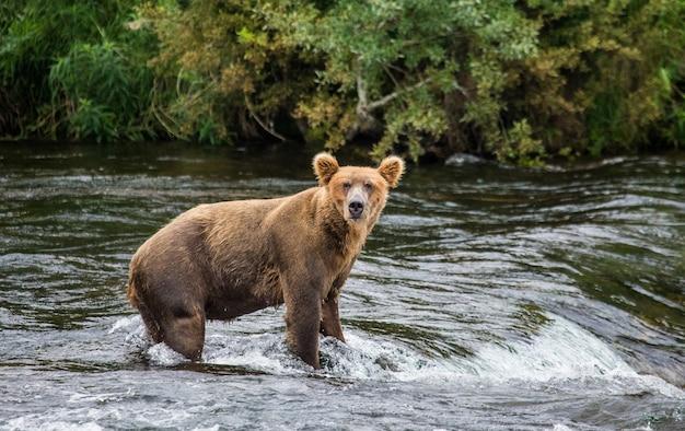 ヒグマが川に立っています