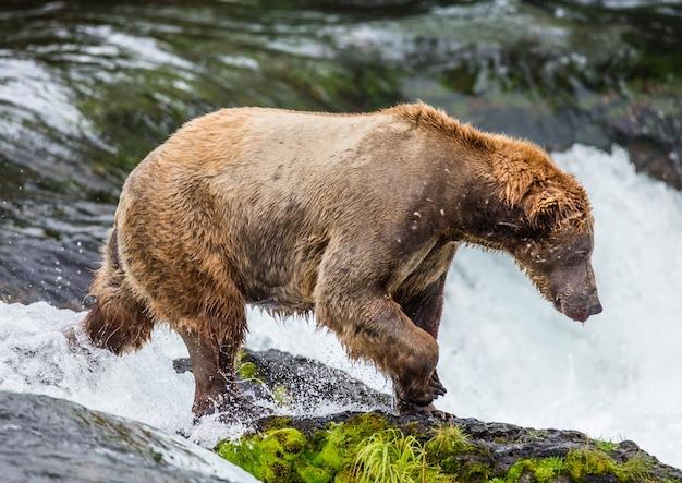 川の真ん中の岩の上にヒグマが立っています