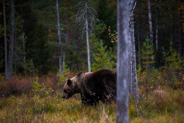 Brown bear in kuusamo, lapland, northern finland