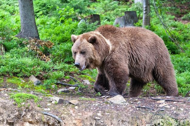 Бурый медведь (лат. ursus arctos) в лесу на фоне дикой природы.