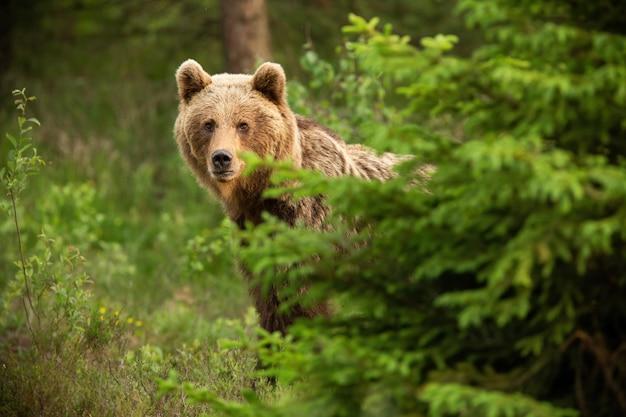 Бурый медведь смотрит из-за дерева в весенней природе