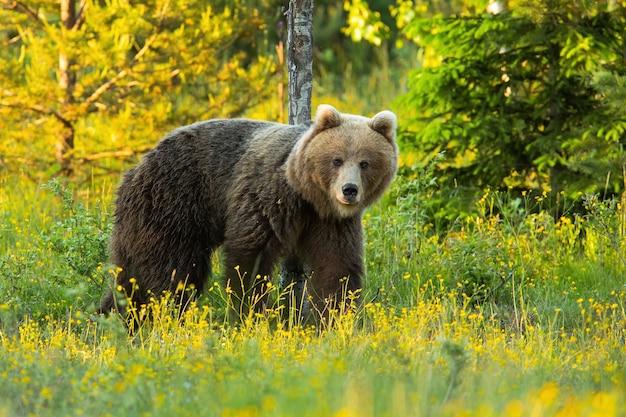 Бурый медведь смотрит на красочный луг в весенней природе
