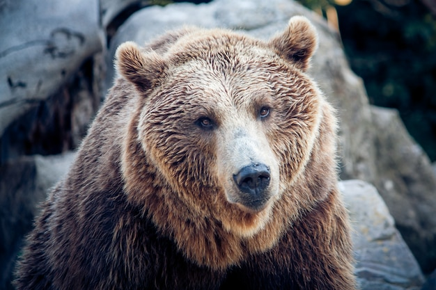 A brown bear looking