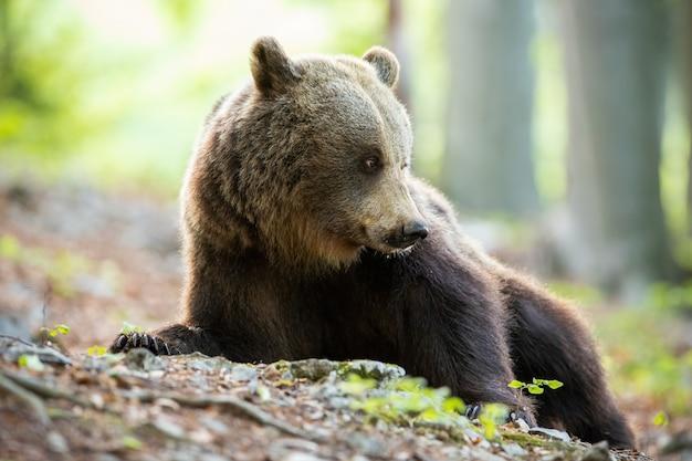 Бурый медведь лежа и оглядываясь на весенний лес