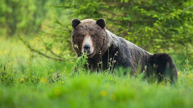 Самец бурого медведя смотрит в камеру на весеннем лугу с зеленым деревом позади