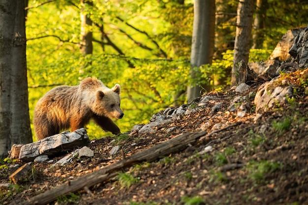 日当たりの良い春の自然の中で森の中を移動するヒグマ