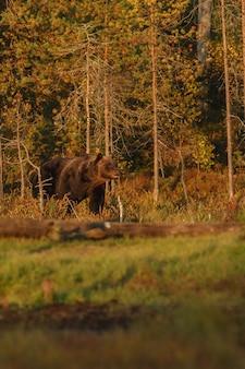 Orso bruno nell'habitat naturale della finlandia