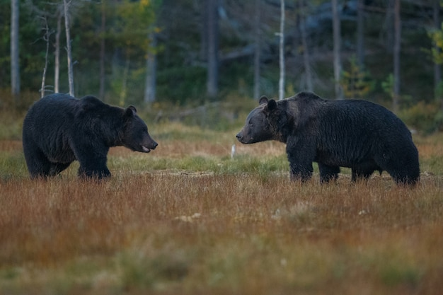 Brown bear in the nature habitat of finland