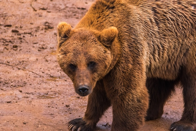 Brown bear in a nature reserve