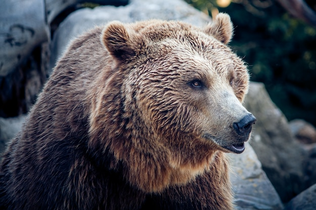 A brown bear on nature