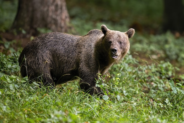 Brown bear observing in forest in summertime nature