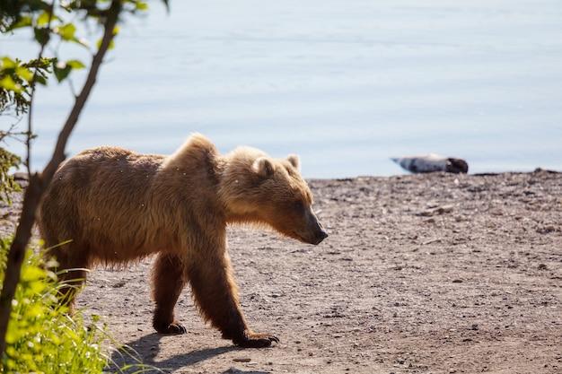 Бурый медведь на аляске