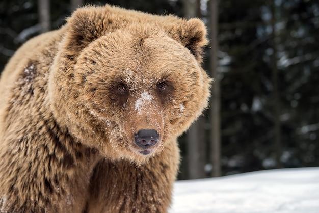 Портрет бурого медведя