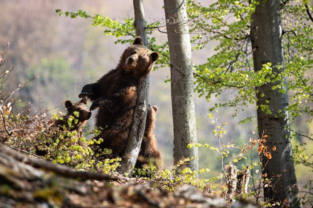 Бурый медведь царапает на дереве в летнем лесу.