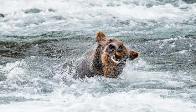 ヒグマは水しぶきに囲まれた水を振り払います