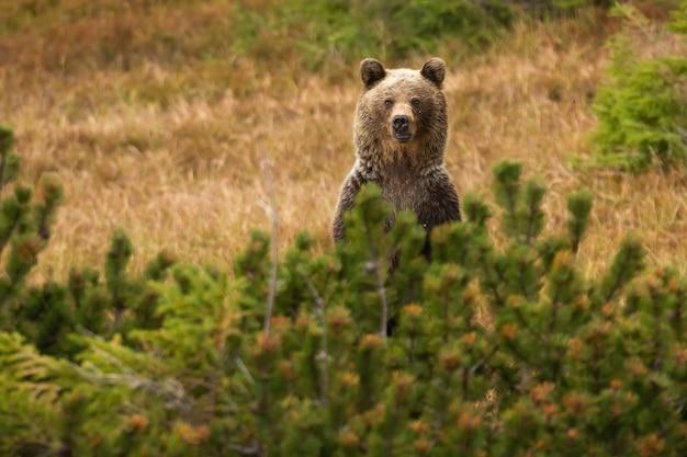 Бурый медведь стоит за хвойными деревьями в осенней природе