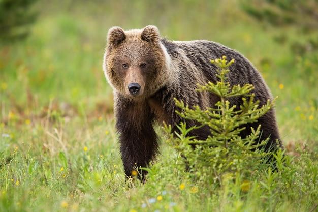 Бурый медведь стоит в лесу летом