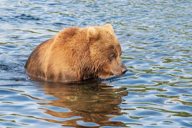 Бурый медведь стоит в реке и смотрит в воду в поисках еды.