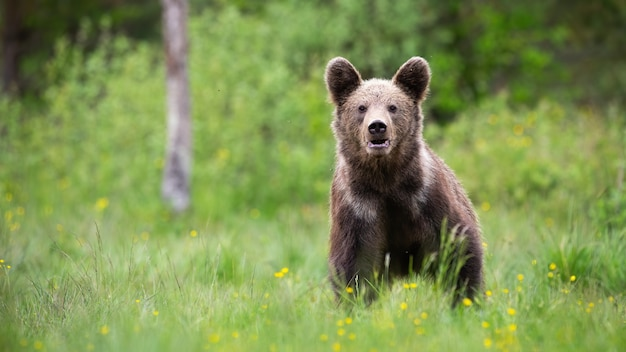 Brown bear standing on meadow in summer with copy space