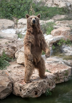 Brown bear stands on rear legs