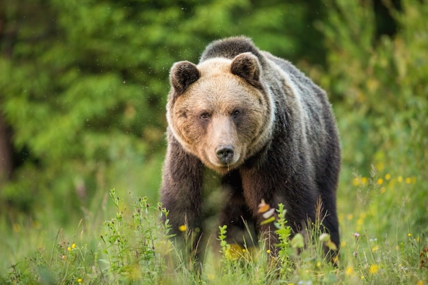 Brown bear staring into a camera from front view on a green meadow