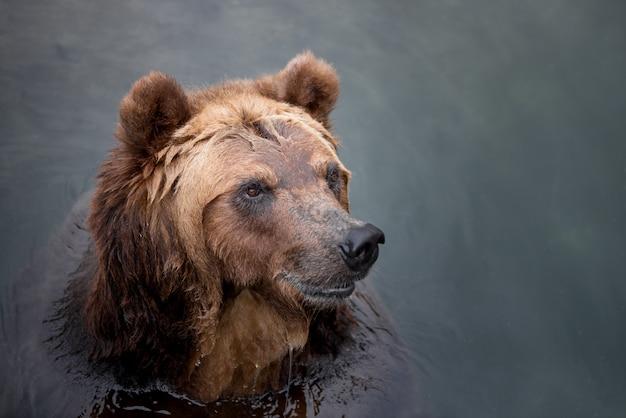 Бурый медведь, купание в реке