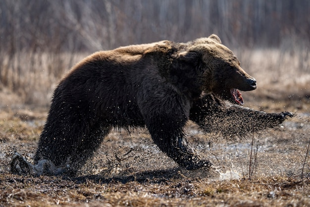 Brown bear tongue hanging out. high quality photo