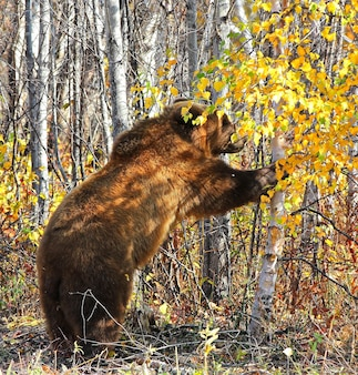 The brown bear ursus arctos on the forest on kamchatka