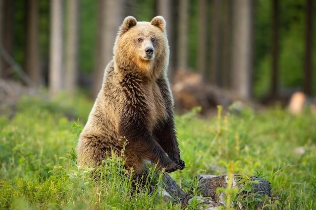 Бурый медведь, ursus arctos, стоит на задних лапах вертикально в лесу на летнем солнце. крупный хищник смотрит в камеру на поляне в солнечном свете. дикое млекопитающее, глядя в пустыню.