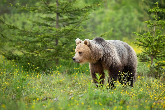 Brown bear walking among wildflowers in summer nature