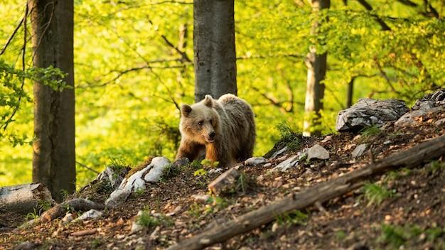 春の自然の中で森の中を歩くヒグマ。