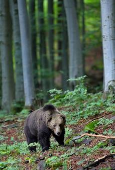 Бурый медведь гуляет в лесу в летней природе.