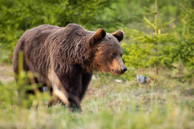 夏の自然の中で森を歩くヒグマ