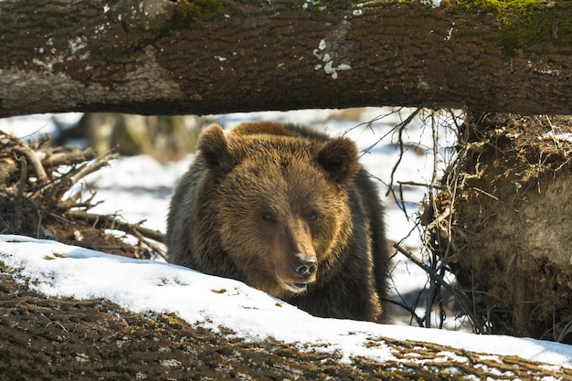 Brown bear in  winter forest