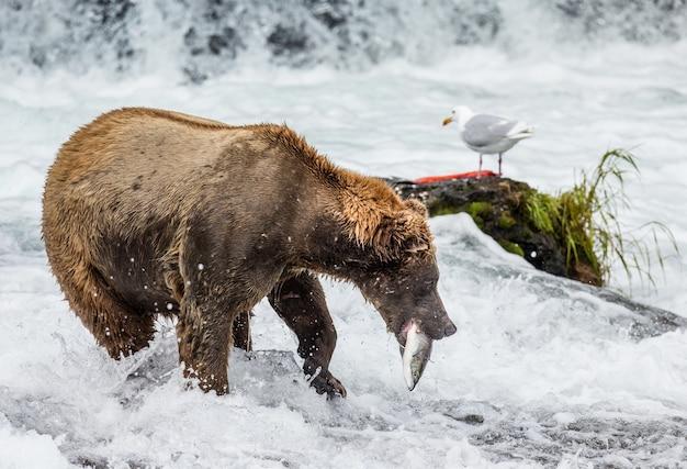 鮭を口にしたヒグマ