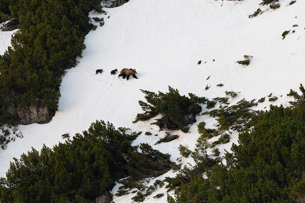 Бурый медведь с детенышами гуляет по заснеженному горному холму зимой