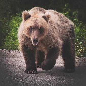 Бурый медведь с одной поднятой лапой готовится к атаке и смотрит в камеру в винтажном тонированном виде