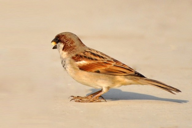 Brown beautiful birds nature sparrow bird feather