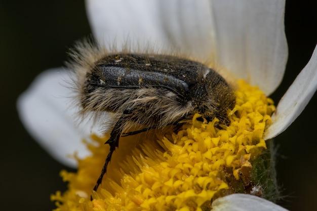 정원에서 데이지 꽃에 갈색 딱정벌레