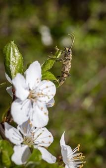 Коричневый жук сидит на белом цветке