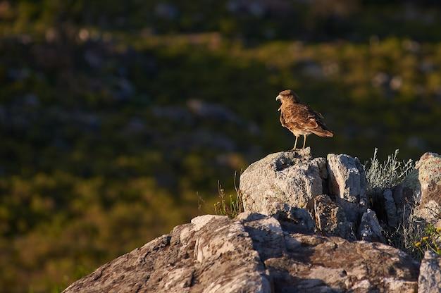 Коричневая птица, стоящая на скале