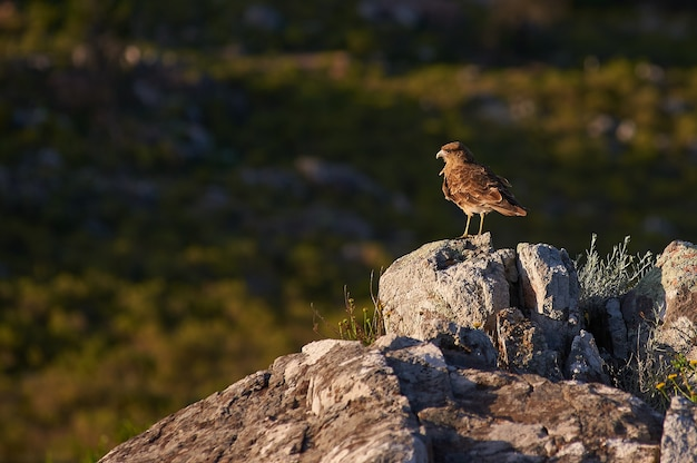 Brown bird standing on a rock