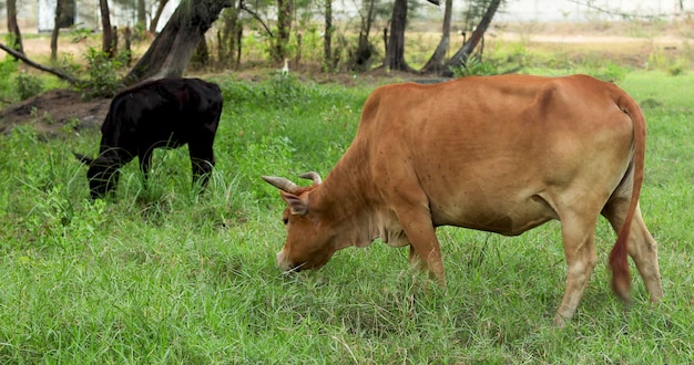 Brown and black cows grazing on a green meadow