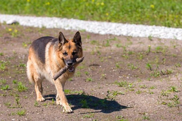 Brown and black german shepherd dog carries stick in its mouth