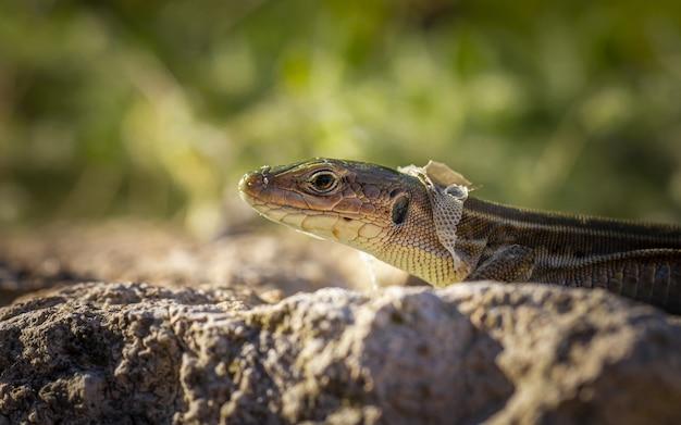 Brown and black lizard on rock