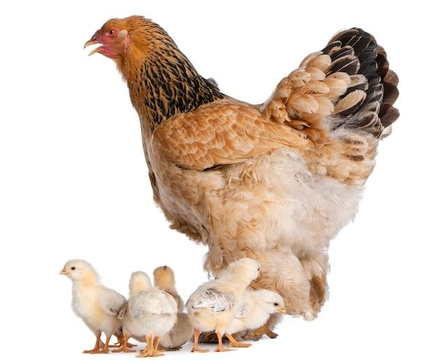 Курица браун брама и ее цыпленок на белом изолированные