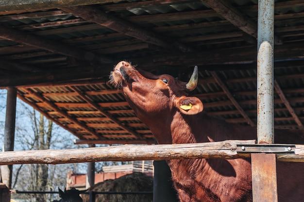 마구간에 시골 농장에 갈색 황소.
