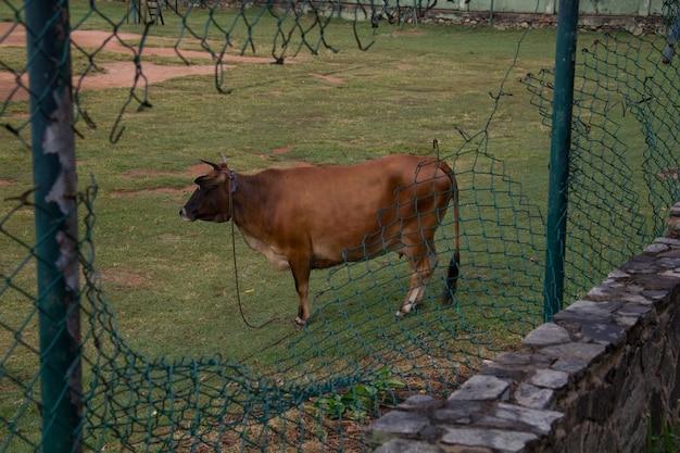 낮에 오래된 체인 링크 울타리로 둘러싸인 농장에 서 있는 갈색 황소